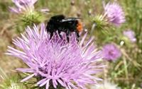 Bourdon sur une fleur, photographie prise par MREnvironnement